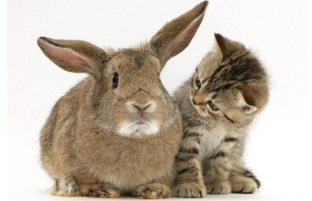 cat-rabbit