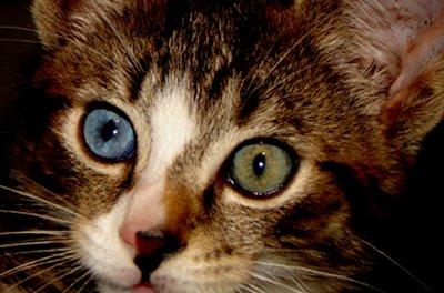 odd-eye-cat1