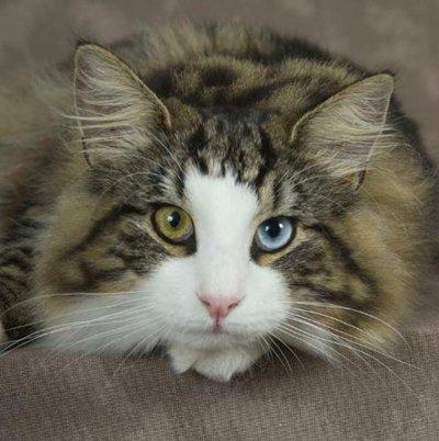 odd-eye-cat2