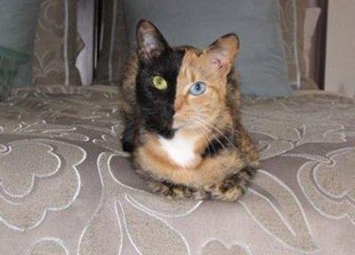 odd-eye-cat3