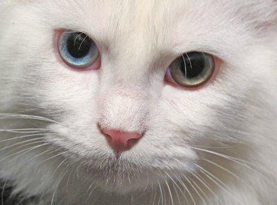 odd-eye-cat4