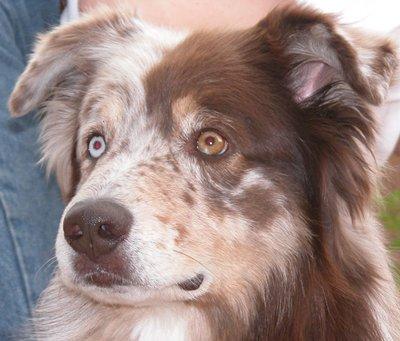 odd-eye-dog1