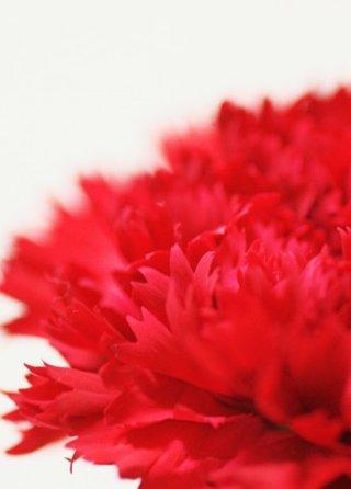 Carnation-red