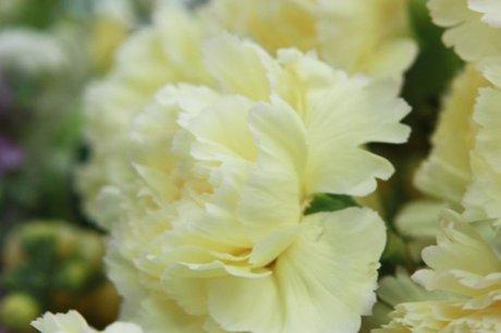 Carnation-white