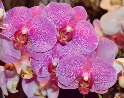 kochouran-pink