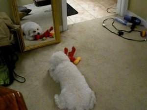 鏡に映る自分に我を失うほど大興奮してしまう犬