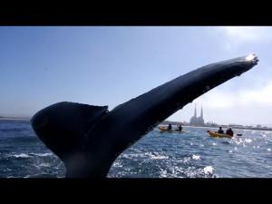 シーカヤックを楽しんでいたら隣に巨大なクジラの尾が!