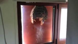 【虫嫌い注意】窓ガラス沿いに出来たスズメバチの巣の断面図