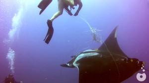 釣り糸に絡まったマンタをダイバーが救助!