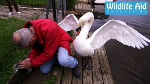 金網にひっかかった白鳥の赤ちゃんを救助
