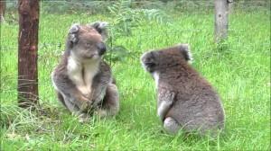 コアラの喧嘩は全く激しさを感じられない。