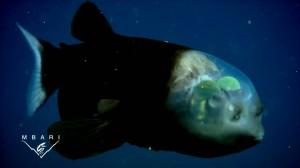 頭部がスケスケスケルトンな珍魚デメニギス!