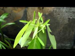 気温や音に反応して踊る植物マイハギ!