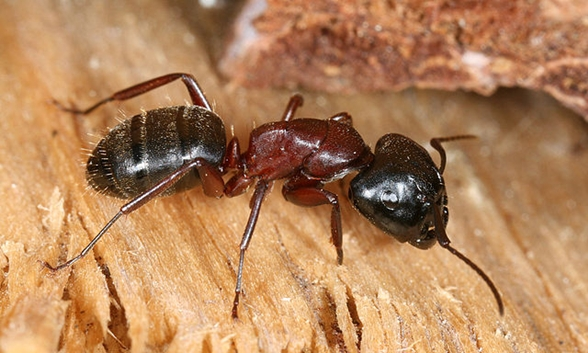 carpenter_ant_photo_credit_richard_bartz