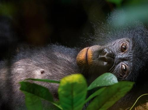 01-young-female-bonobo-relaxes-lui-katale-670