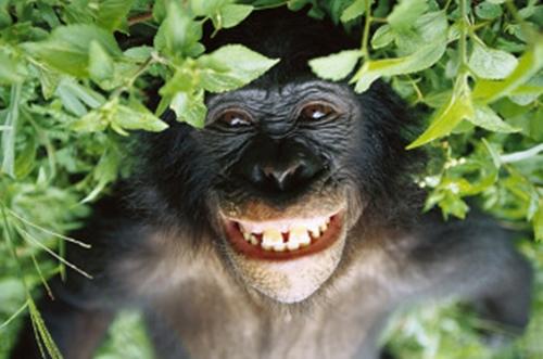 bonobo-332x220