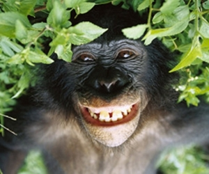 bonobo-i
