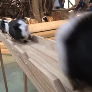 可愛すぎるモルモットの帰宅ラッシュ動画!
